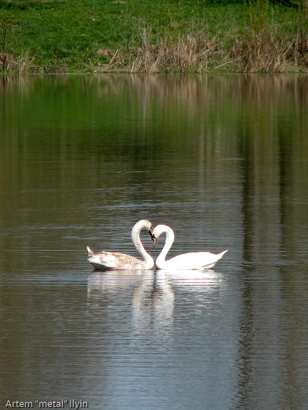 Лебеди на озере в селе Затурцы около Владимира-Волынского, Волынская область