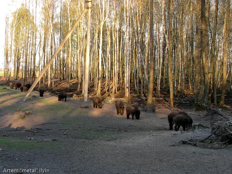 Кабаны в лесничестве села Ивановка, Ровенская область