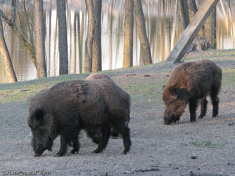Природа Волыни: кабаны пасутся в лесу на берегу озера