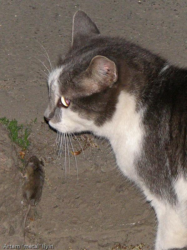Кот и мышь во дворе Киева