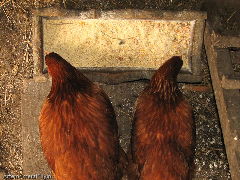 Две курицы, стоящие рядом, похожи на герб России, Волынская область
