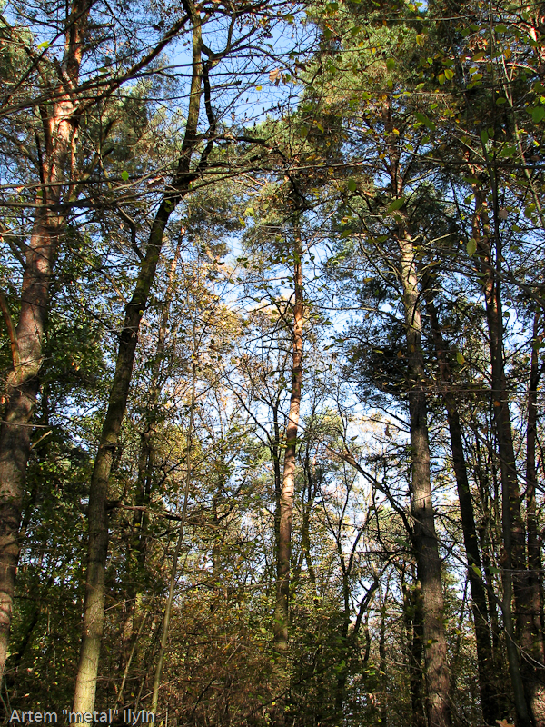 Хвойные леса Волыни. Сбор грибов в Волынской области