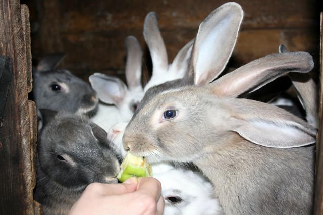 Кролики-1