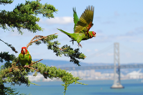 Parrots with San Francisco Bay Bridge in background