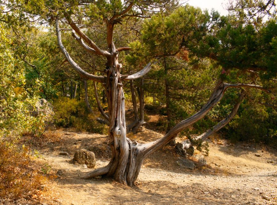 дерево глаз