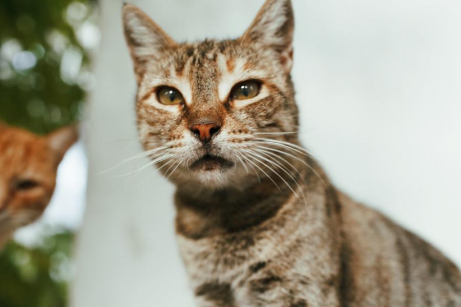 черноморская кошка