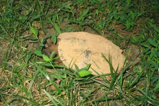 snapping turtle