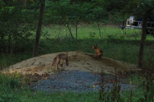 two foxes in the front yard 8-6
