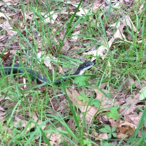 Adult Black Ratsnake