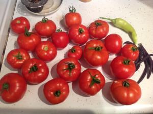 first big tomato harvest