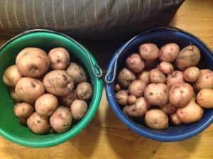 Russet potato harvest