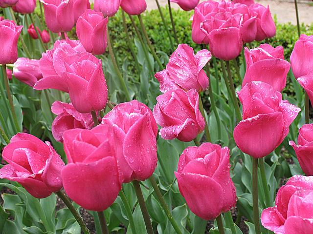 tulip triumph barcelona 4