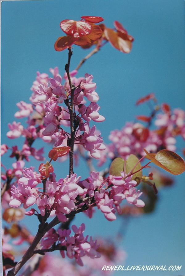 иудино дерево renedl 1