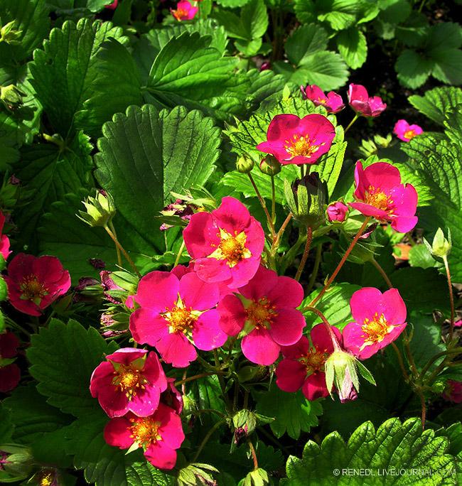 Erdbeer Toskana Renedl 1a