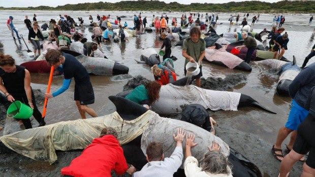 Гринды выбросили на берег