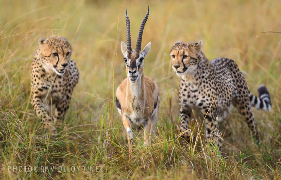 500px : Cheetah Chase by David Lloyd 2013-10-27 19-55-42