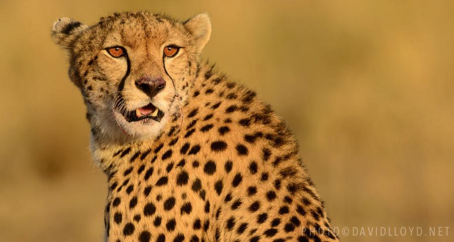 500px : Cheetah on Sunset by David Lloyd 2013-10-27 19-56-10