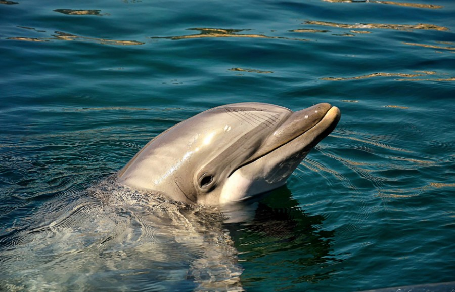 500px : dolphin by Pier Luigi Saddi 2013-11-09 00-33-17