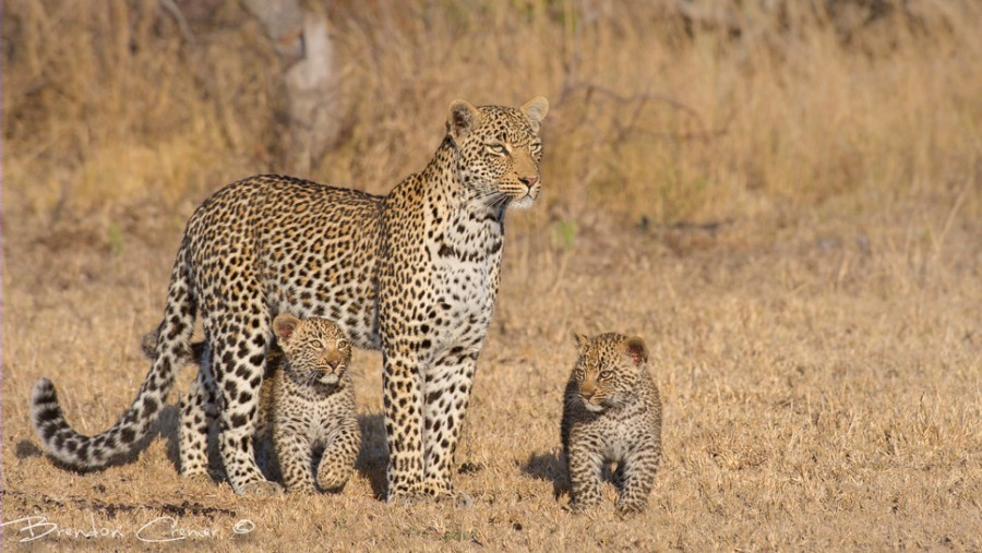 500px : Mother & Cubs by Brendon Cremer 2013-11-09 00-24-23