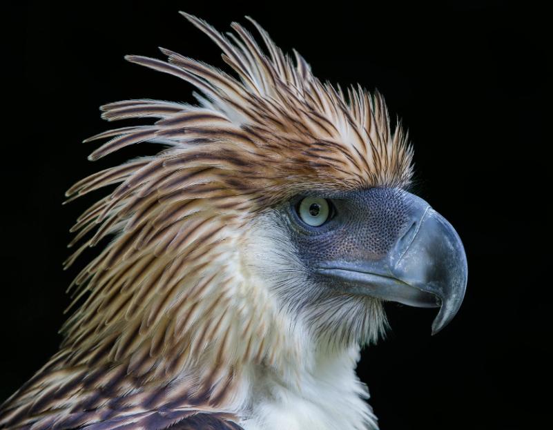 500px : Philippine Eagle by Jon Chua 2013-12-15 01-08-30