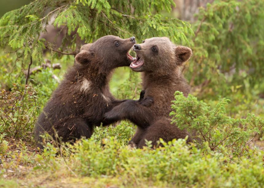 500px : Playful Bear Cubs by Giedrius Stakauskas 2013-12-15 01-06-29