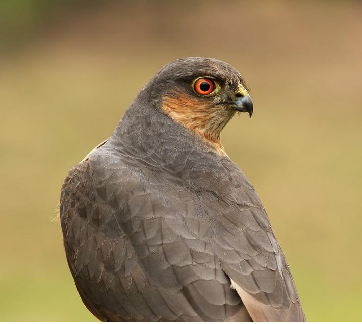500px : Sparrowhawk by Geoffrey Baker 2013-10-15 21-50-55