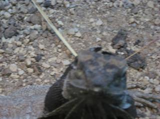Curious frilled lizard