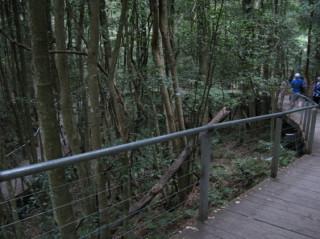 Boardwalk through the endangered temperate rainforest