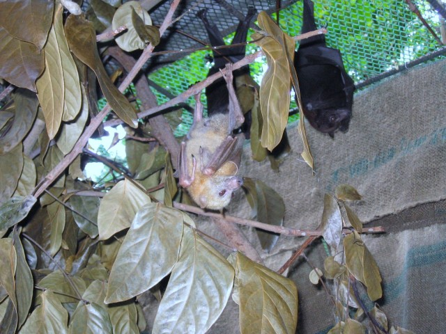 These bats feed on fruit and nectar; thus, they are good seed dispensers and help in pollination.