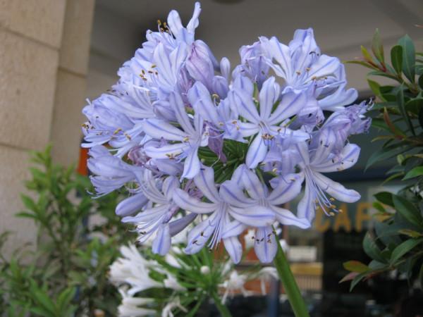 агапантус голубой умен