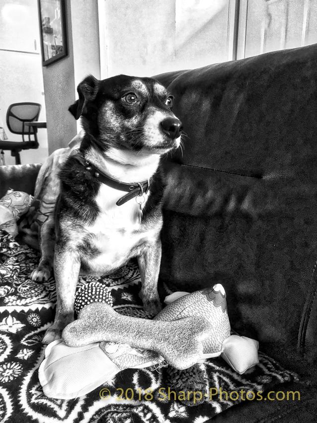 Говорит и показывает Бодя: Будни Маленькой Собачки