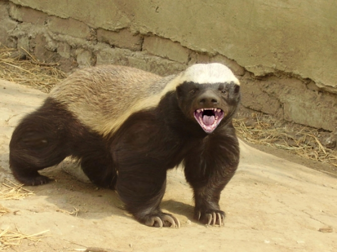honey_badger_1