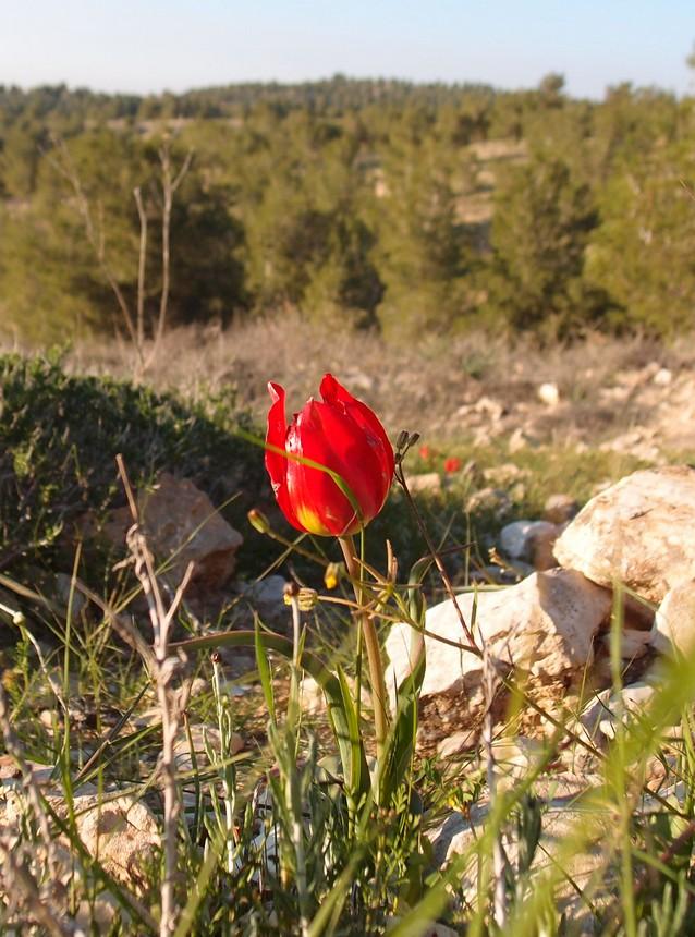 tulip_012.jpg