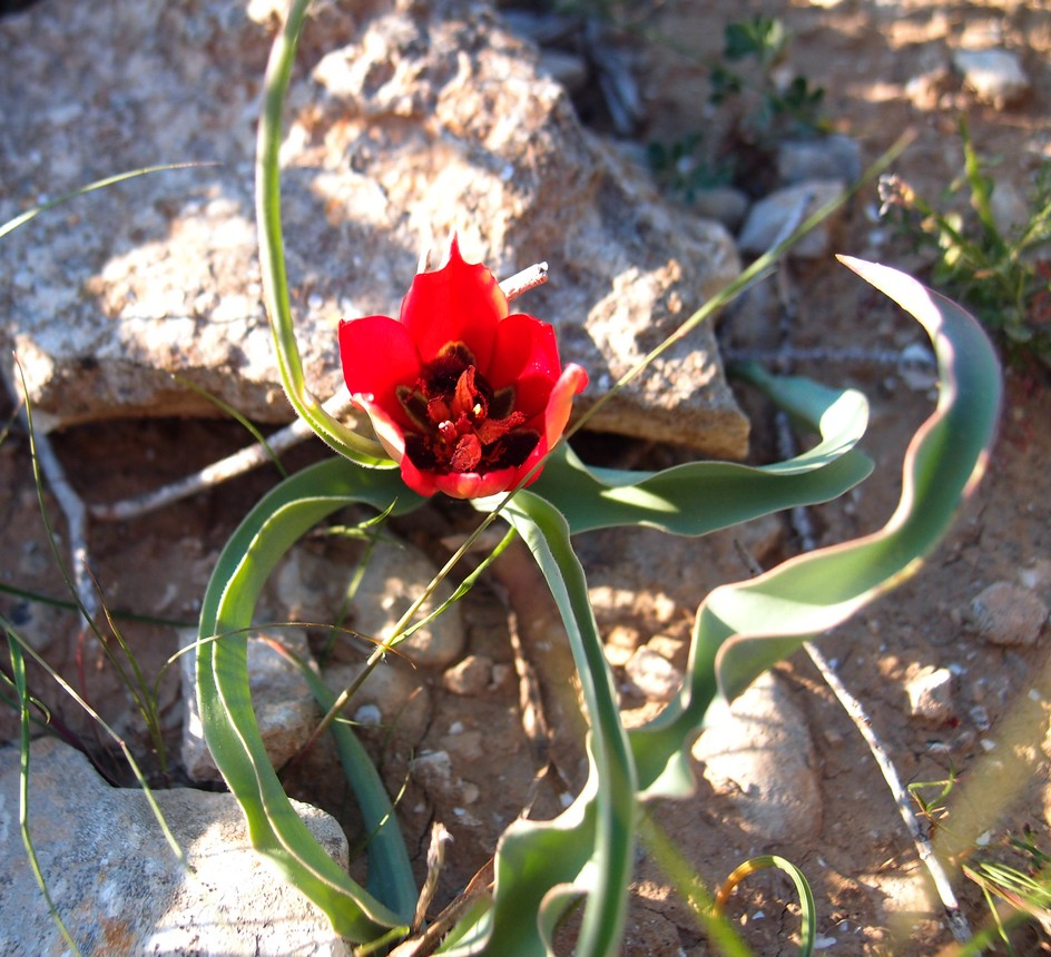 tulip_013.jpg