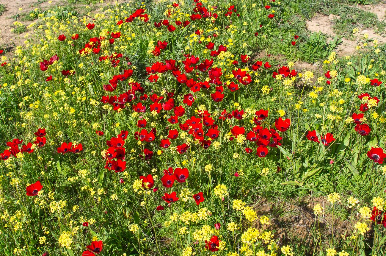 anemon_israel