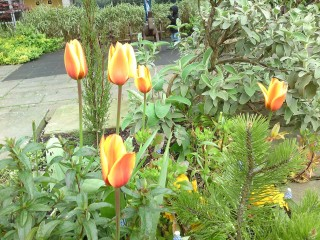 Stripy orange Tulips