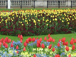 More tulips!