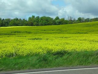 Cowslip field