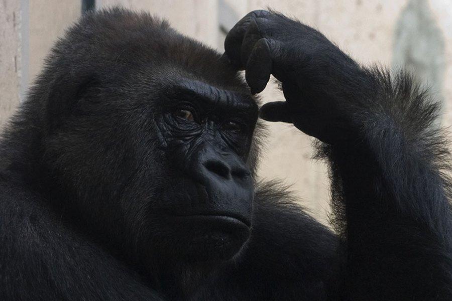 slider-gorilla
