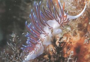 Flavelina s.p. Nudibranquio