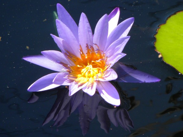 water lily purple