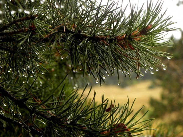 drops on pine