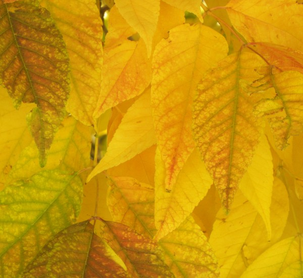 purp ash leaves5