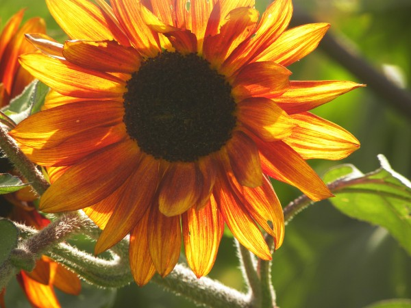 orange sunflower1