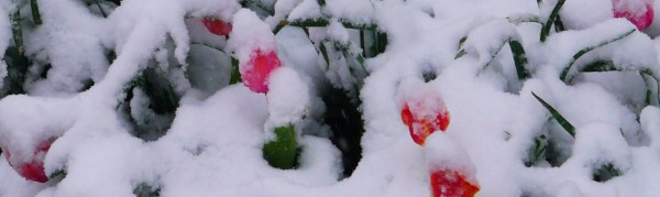 tulips snow3