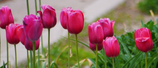 pink tulips2