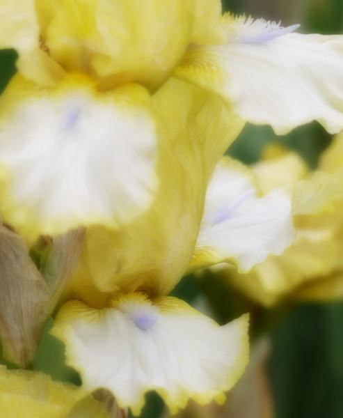 fuzzy iris