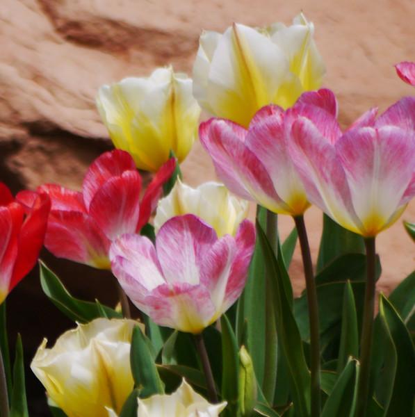 tulips3 (2)