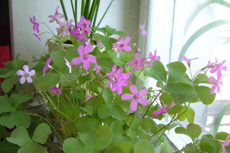 Фото цветка оксалис
