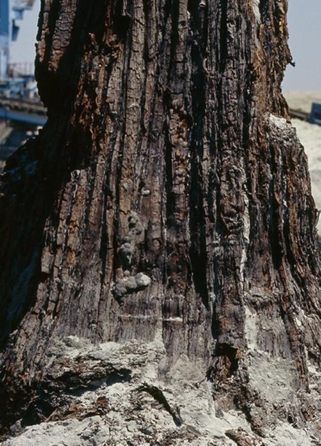 Факт о потопе. В копилку Сибведа. Taxodium.